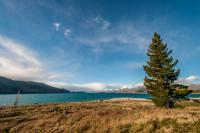 Baum am Lake Tekapo